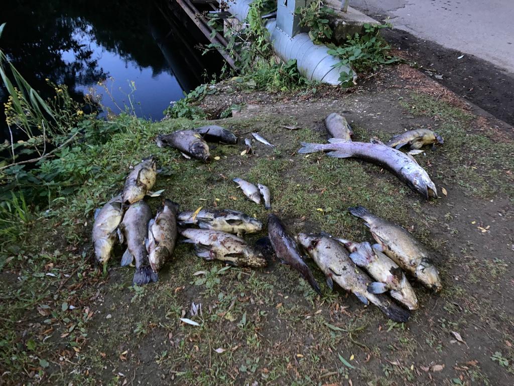 Fischsterben in Neuburg